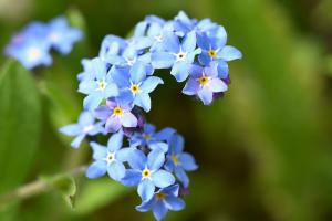 forget me not 769235 960 720.news