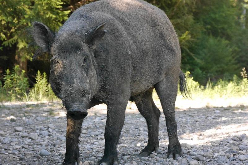 3506e83b4925f0 Wildschweine hinterlassen derzeit im Magdeburger Stadtgebiet Spuren und  Schäden