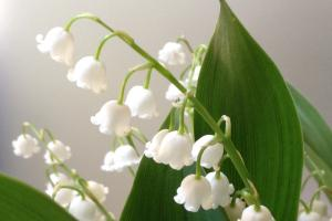 lilly of the valley 640898 1920.news