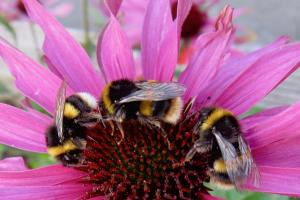 bumble bees.news