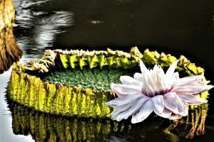 giant water lily 3606613 960 720.news