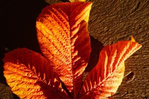 chestnut leaf 2862161 1920.news