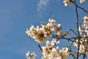 almond tree in blossom 680735 1920.news