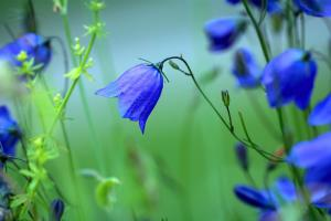 round leaved bellflower 1576104 1920.news