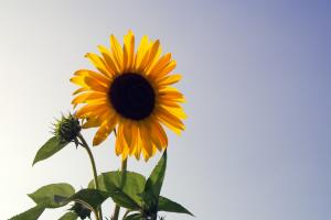 sunflower 1591509 1920.news