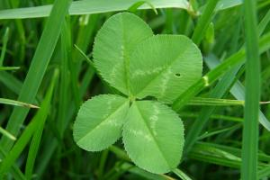 four leaf clover 566554 1920.news