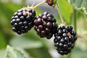 blackberries 1539540 1280.news