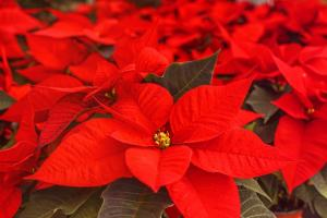 poinsettia 4636921 1280.news